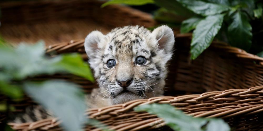 Alisha-le-be-be-tigre-a-e-te-pre-sente-e-ce-jeudi-a-la-presse